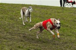 CCLA Coursing