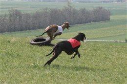CACIL Coursing